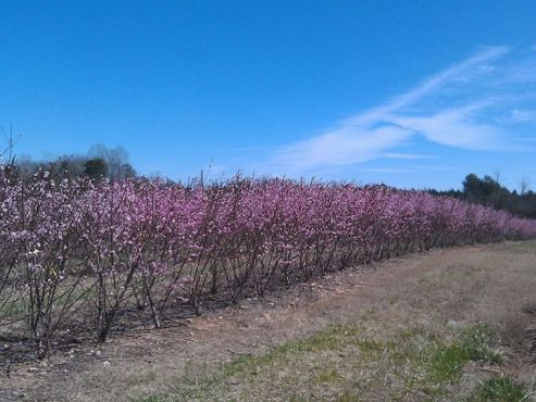 Experimental peach plot, Musser Fruit Research Farm @ Clemson University